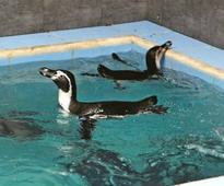The death of a Byculla Zoo penguin: Dory's demise should teach us about the obsolescence of zoos