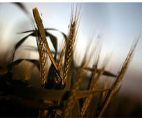 Centre releases Rs 17,994 cr CCL for wheat procurement in Punjab