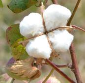 Cotton blooms on limited supplies