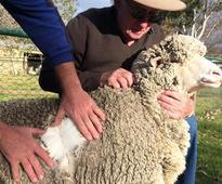 Quest for 'golden fleece' takes wool buyers to Australia