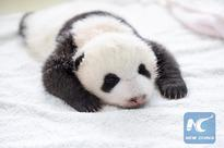The happiest job in world may be...with giant pandas