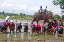Wild tuskers destroy swathes of paddy plantation in Kanchanpur