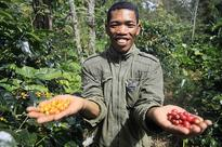 Vietnam faces dilemma on forests as climate change threatens coffee crops