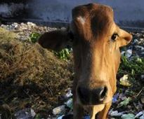Two arrested with 35 kg of cow meat in Gurgaon