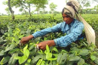 Note ban: How a tea estate in Bengal paid its workers