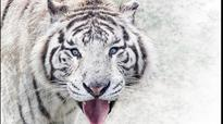World's first 'White Tiger Safari' in MP thrown open for public