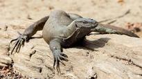 Spurt in demand: Monitor lizard racket thrives