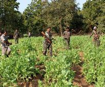 Arunachal Pradesh: Illegal poppy plantation destroyed