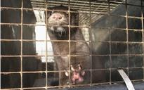 Undercover police officer took part in release of mink from fur farm after infiltrating animal rights group