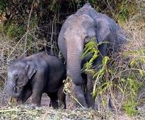Elephants damage crop in Keonjhar, Bolangir
