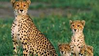 Cheetahs heading to extinction as global population crashes