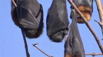 Australian town invaded by bats in 'state of emergency'