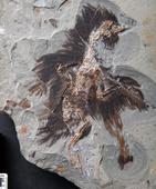 Ancient Melanosomes, Beta-Keratin Found in Fossilized Feathers of Early Cretaceous Bird
