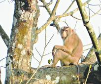 Macaques make varsity forest home
