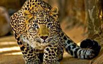 Mumbai: Leopard rescued from pre-school