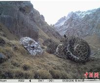 Chinese researchers capture images of snow leopard courtship and mating