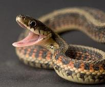 Snake disrupts power supply in 3 districts