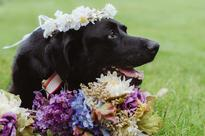 Dog with brain tumor hangs on just long enough to see his person married