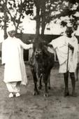 How Mahatma Gandhi 'lived' cow protection more than preaching it