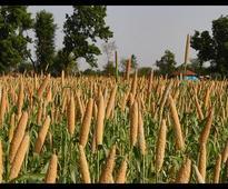 Govt to distribute millets like bajra via PDS