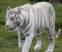 Two white tigers kill keeper in Bengaluru's Bannerghatta park