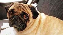 Dog alert! Pug 'Candy' kidnapped outside owner's residence in Rohini, Rs 5000 reward announced