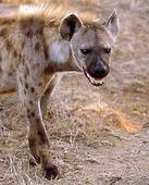 Hyena eats man's penis in Zambia
