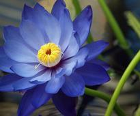 Gardening Tips For Divine Blue Lotus