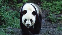 China to release 2 giant pandas into wild