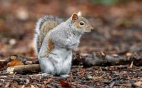 Grey squirrels may have outlasted red squirrels in Britain due to their superior problem solving powers