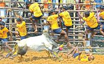 Off-season Jallikattu lures tamers with flashy prizes