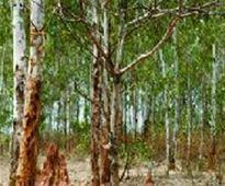 2,000 hectare in Surat, Tapi under eucalyptus and teak cultivation