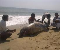 Carcass of Indo-Pacific humpback dolphin washed ashore near Chennai