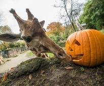 Animals Munch on Pumpkins