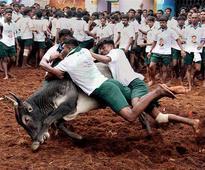 'Jallikattu' stir spreads to Lanka, UK and Australia