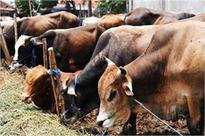 Cattle ban will affect MPI's business, says director