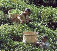 Tea prices hit 9-month high at Coonoor auctions