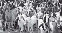 Sans middlemen, adivasis make a living through goat sale