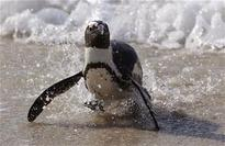 2 Activists Free Penguin, May Have Doomed Him