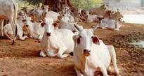 Curbs on cattle slaughter: HC seeks explanation from Centre