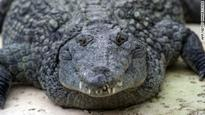 Nile crocodiles identified in South Florida