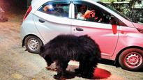 Mount Abu's bear infestationis scaring tourists away