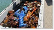 Extremely rare sapphire-blue lobster caught off Cape Cod
