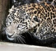 Prowling leopard gives a scare to RRCAT campus residents