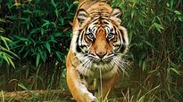 J'khand dam to eat into land for tiger habitat