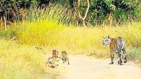Tiger safari construction in Pench will expose big cats to poaching: NTCA