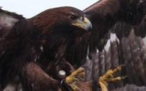 Warning to pet owners over Stan, the hungry golden eagle on the loose