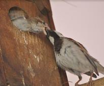 Getting together to save Jaipur's sparrows