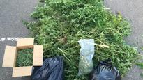 Marijuana grow operation dismantled by RCMP in Tabusintac