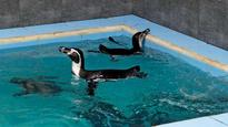 Humboldt penguins fly into city, quarantined in Byculla zoo